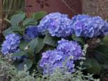 Blütensträucher und Ziergehölze - Ballhortensie 'Diva fiore' ® (Blau), 30-40 cm, Hydrangea macrophylla 'Diva fiore' ® (Blau), Containerware