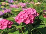 Blütensträucher und Ziergehölze - Ballhortensie 'Diva fiore' ® (Rosa), 30-40 cm, Hydrangea macrophylla 'Diva fiore' ® (Rosa), Containerware