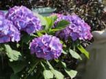 Blütensträucher und Ziergehölze - Ballhortensie 'Diva fiore' ® (Violet), 30-40 cm, Hydrangea macrophylla 'Diva fiore' ® (Violet), Containerware