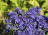 Bartblume 'Blauer Spatz'  Caryopteris clandonensis 'Blauer Spatz'