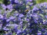 Bartblume 'Heavenly Blue', 30-40 cm, Caryopteris clandonensis 'Heavenly Blue', Containerware