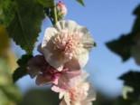 Stauden - Halbstrauchige Stockrose 'Parkfrieden', Alcalthaea suffrutescens 'Parkfrieden', Topfware