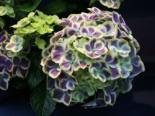 Blütensträucher und Ziergehölze - Ballhortensie 'Bavaria' ®, 30-40 cm, Hydrangea macrophylla 'Bavaria' ®, Containerware