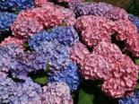 Blütensträucher und Ziergehölze - Ballhortensie 'Bouquet Rose', 30-40 cm, Hydrangea macrophylla 'Bouquet Rose', Containerware