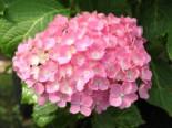 Blütensträucher und Ziergehölze - Ballhortensie 'Hamburg', 30-40 cm, Hydrangea macrophylla 'Hamburg', Containerware