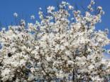 Baum-Magnolie Kobushi