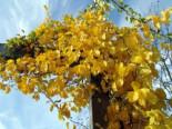 Kletterpflanzen - Baumwürger, 40-60 cm, Celastrus orbiculatus, Containerware