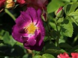 Rosa 'Rhapsody in Blue' ®