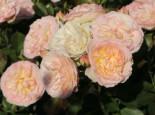Beetrose 'Pastella' ®, Rosa 'Pastella' ®, Containerware