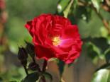 Beetrosen - Beetrose 'Rotilia' ®, Rosa 'Rotilia' ®, Containerware