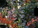 Berberitze 'Red Jewel', 30-40 cm, Berberis media 'Red Jewel', Containerware