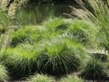 Berg Segge Carex montana