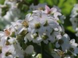 Gehölzrand - Bergenie 'Bressingham White', Bergenia cordifolia 'Bressingham White', Topfware