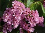 Gehölzrand - Bergenie 'Herbstblüte', Bergenia cordifolia 'Herbstblüte', Topfware
