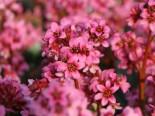 Gehölzrand - Bergenie 'Pink Dragonfly', Bergenia cordifolia 'Pink Dragonfly', Topfware