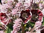 Berglorbeer / Lorbeerrose 'Pinwheel' Kalmia latifolia