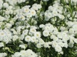 Bertrams-Garbe 'The Pearl', Achillea ptarmica 'The Pearl', Topfware