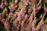 Besenheide 'Theresa' / 'Tessa' -S-, 10-15 cm, Calluna vulgaris 'Theresa' / 'Tessa' -S-, Topfware