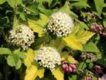 Blasenspiere / Gelbe Blasenspiere 'Dart's Gold' Physocarpus opulifolius 'Dart's Gold'