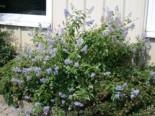 Blütensträucher und Ziergehölze - Blaue Säckelblume  'Glorie de Versailles', 40-60 cm, Ceanothus delilianus 'Glorie de Versailles', Containerware