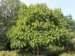 Blauglockenbaum, 100-125 cm, Paulownia tomentosa, Containerware