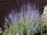 "Blauraute ""Blue Spire"" Perovskia atriplicifolia 'Blue Spire'"