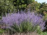 Blauraute / Silberbusch Perovskia abrotanoides