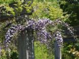 Kletterpflanzen - Blauregen 'Violacea Plena', 60-100 cm, Wisteria floribunda 'Violacea Plena', Containerware