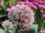 Zwiebel- und Knollenstauden - Blauzungen-Lauch, Allium karataviense, Topfballen