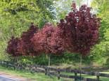 Laubbäume - Blut-Ahorn 'Crimson Sentry', Stamm 60 cm, 80-100 cm, Acer platanoides 'Crimson Sentry', Stämmchen