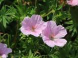 Steingarten - Blut-Storchschnabel 'Apfelblüte', Geranium sanguineum var. striatum 'Apfelblüte', Containerware