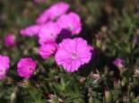 Steingarten - Blut-Storchschnabel 'Glenluce', Geranium sanguineum 'Glenluce', Topfballen