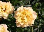 Rosa 'Yellow Fairy' ®