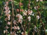 Duft-Schneeball, Winterschneeball 'Dawn' Viburnum x bodnantense