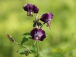 Gehölzrand - Brauner Storchschnabel, Geranium phaeum, Topfballen