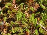 Steingarten - Braunes Fiederpolster / Laugenblume, Cotula squalida, Topfballen