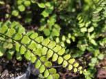Farne - Braunstieliger Streifenfarn, Asplenium trichomanes, Topfballen
