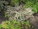 Brokatfarn  'Metallicum' / 'Pictum' Athyrium niponicum 'Metallicum' / 'Pictum'
