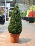 immergrüne Laubbäume - Buchsbaum / Kegel, 30-40 cm, Buxus sempervirens Kegel / Pyramide, Containerware