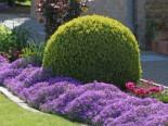immergrüne Laubbäume - Buchsbaum Kugel, 20-25 cm, Buxus sempervirens Kugel, Containerware
