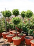 Buchsbaum-Stämmchen