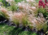 Büschelfedergras, Büschel-Haargras Stipa capillata