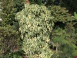 Kletterpflanzen - Buntlaubiger Kaukasischer Efeu, 40-60 cm, Hedera colchica 'Dentata Variegata', Containerware