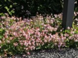 Cambridge Storchschnabel 'Biokovo', Geranium x cantabrigiense 'Biokovo', Topfballen