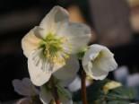 Gehölzrand - Christrose 'Christmas Carol', Helleborus niger 'Christmas Carol', Topfware