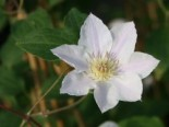 Clematis 'Chantilly' TM Evipo 021 N