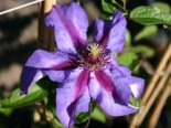 Clematis 'Mrs.N.Thompson'