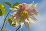 Clematis 'Rosy O' Grady' Clematis macropetala 'Rosy O' Grady'