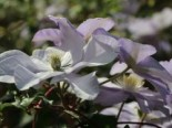 Clematis 'Silver Moon'