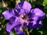 Clematis 'The President'